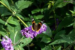 Vulcain  Vanessa atalanta (Ezzo33) Tags: vulcain vanessaatalanta france gironde nouvelleaquitaine bordeaux ezzo33 nammour ezzat sony rx10m3 parc jardin papillon papillons butterfly butterflies specanimal