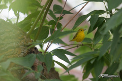 Oroville 2018_0065 (AF__Photography) Tags: warbler