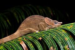 Short-horned chameleon (Calumma brevicorne) - DSC_2985 (nickybay) Tags: africa madagascar macro andasibe voimma shorthorned chameleon calumma brevicorne chamaeleonidae