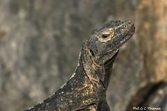 394A0966-LR-Black-spiny-tailed-iguana (Phil. G. C. Thomas) Tags: blackspinytailediguana reptile iguana photographedinpanama