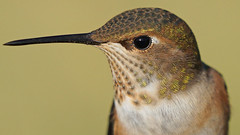 Evoking the Stillness (photosauraus rex) Tags: hummingbird vancouver bc canada rufous bird
