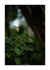 2018/8/19 - 4/6 photo by shin ikegami. - SONY ILCE‑7M2 / New Jupiter 3+ 1.5/50 L39/M (shin ikegami) Tags: 紫陽花 flower 花 井の頭公園 吉祥寺 summer 夏 sony ilce7m2 sonyilce7m2 a7ii 50mm lomography lomoartlens newjupiter3 tokyo sonycamera photo photographer 単焦点 iso800 ndfilter light shadow 自然 nature 玉ボケ bokeh depthoffield naturephotography art photography japan earth asia