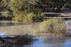 Lignum Bushes in the Warrego River (oz_lightning) Tags: australia canon6d canonef100400mmf4556lisiiusm duma fordsbridge muehlenbeckia nsw polygonaceae landscape nature outback rural newsouthwales aus water river
