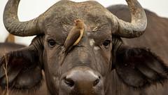 Nairobi-Nationalpark 02jpg (ovg2012) Tags: capebuffalo kaffernbüffel kenia kenya nairobinationalpark safari synceruscaffer