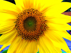 Sunflower  [Explored] (Mr Joel's Photography) Tags: sunflower