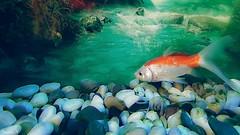 Fish - 5917 (ΨᗩSᗰIᘉᗴ HᗴᘉS +23 000 000 thx) Tags: fish hensyasmine namur belgium europa aaa namuroise look photo friends be wow yasminehens interest intersting eu fr greatphotographers lanamuroise