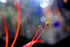 filaments & anthers (donjuanmon) Tags: donjuanmon nikon nature sliders slidersunday hss macro closeup bokeh red yellow green blue purple flower filament anther