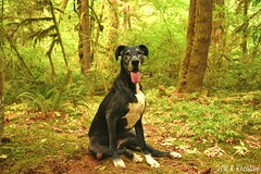 34.52.2018 Timeless Beauty (kmmorgan1977) Tags: 52weeksfordogs 52wfd 52wfd18 kkzsapachevegasrose greatdane dog seniordog camping woods forest oregon fishcreekcampground estacadaoregon clackamasriver