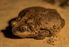 Red Spotted Toad - Tucson, Arizona (mattybecks3) Tags: red spotted toad tucson toads desert critter olympus omdem5mii arizona az conservation animal wild wildlife southwest usa ngc natgeo