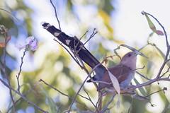 Alma de Gato - Squirrel Cuckoo (Ruy de Menezes Coitinho) Tags: almadegato squirrelcuckoo piayacayana aves birds belo birdwatching beautifulbird centrooeste canonef300mmf4 goiás nature natureza ornitologia ornitology pássaros