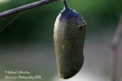 Monarch Chrysalis (Desra Lea) Tags: monarchcaterpillar monarch caterpillar chrysalis nature macro summer pennsylvania leaf insects bugs green life