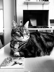 Tigger on the Table 2 (sjrankin) Tags: 26august2018 edited animal cat kitahiroshima hokkaido japan closeup tigger table dinnertable livingroom grayscale