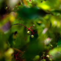 Thicket Details 057 (noahbw) Tags: d5000 dof middleforksavanna nikon abstract berries blur branches depthoffield dreamlike dreamy leaves marshland natural noahbw prairie square summer wetlands