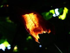 The first morning of autumn. (ALEKSANDR RYBAK) Tags: осень утро солнечный свет лучи листья листок жёллтый сухой погода сезон макро крупный план абстракция тени прозрачность autumn morning solar shine beams leaves leaflet jellied dry weather season macro closeup abstraction shadows transparency