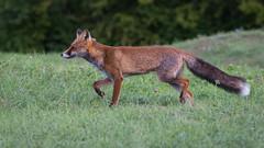 SNY_1450-1.jpg (steph-55) Tags: nikond800 nikon200500f56 steph55 renard fox loraine meuse verdun faune vulpesvulpes fuchs renardroux