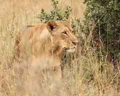 Emerging from the clearance (Nagarjun) Tags: lioness nairobinationalpark kenya eastafrica wildlife carnivore bigcat bigfive female safari gamedrive