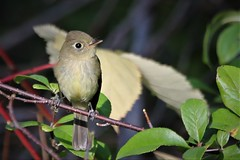 From my picnic table.... (Paridae) Tags: flycatcher cute cutebirds campbellvalleypark thingswithwings featheredfriends afewofmyfavouritethings canoneos1dx