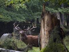 Hirsch (stefan.urlbauer) Tags: hirschgehegescheuereck nationalparkbayerischerwald natur regen wald