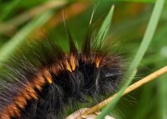 fox moth larva, Lake Vyrnwy (David_W_1971) Tags: jow2018 mothslasiocampidae