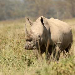 The horned one (Nagarjun) Tags: lakenakurunationalpark kenya eastafrica wildlife bigfive whiterhino whiterhinoceros southernwhiterhinoceros ceratotheriumsimumsimum safari gamedrive herbivore biggame