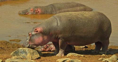 0724ex  hippos x 3