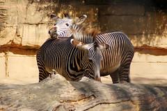 DSC06789 (Christine Gerhardt) Tags: deutschland flickrtreffen20180909 stuttgart tierfoto wilhelma zebra zoo