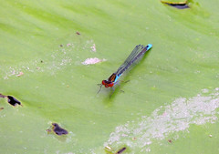 Small Red Eyed Damselfly (Mama_Kin) Tags: dragonfly dragonflies damselfly damselflies odonata zygoptera
