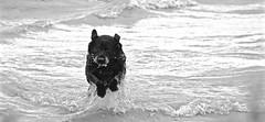 BOSS RETRIEVER, ACA PHOTO (alexanderrmarkovic) Tags: jazz retreiver black lab dog acaphoto