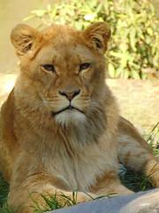 Afrikaanse leeuwin. (Loekje19) Tags: afrikaanse leeuwin