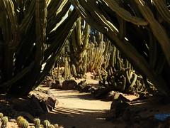 Cactus Country, Strathmerton 1417 (Lesley A Butler) Tags: victoria strathmerton cactuscountry cacti australia