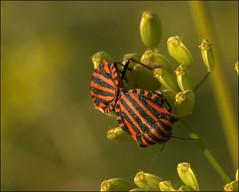 Mating Shield bugs (catb -) Tags: france saintgeniès bug insect shieldbug stinkbug punaise macro beetle pentatomerayé