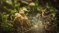 """""""Le champignon le plus vénéneux, c'est celui qu'on trouve dans les voitures."""" (imagene74) Tags: champignons macro"""