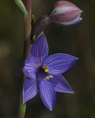 Flower and bud. (ron_n_beths pics) Tags: westernaustralia perthbushlands thelymitra orchidaceae