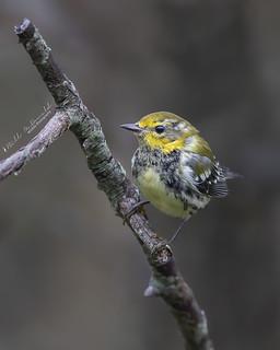 Black-throated Green Warbler juvenile
