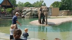 Denver Zoo   2018.08.20   Elephant Training Demonstration (Kaemattson) Tags: denverzoo denver co colorado coloradorockies frontrange milehighcity animals park elephant trainingdemonstration