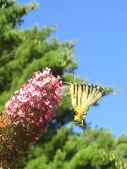Iphiclides podalirius (Sur mon chemin, j'ai rencontré...) Tags: iphiclidespodalirius papillons butterfies leflambé levoilier papilionidae nature