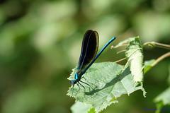 Calopteryx (Ezzo33) Tags: « calopteryx splendens » «calopteryx éclatant france gironde nouvelleaquitaine bordeaux ezzo33 nammour ezzat sony rx10m3 parc jardin insecte insectes specanimal libellule dragonfly