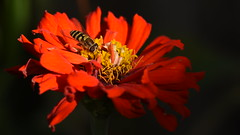Hover Fly on Top of Zinnia [In Explore] (rq uk) Tags: rquk nikon d750 afsvrmicronikkor105mmf28gifed hoverfly macro micro nikond750 zinnia yellow black red