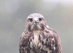 Common Buzzard (WiltsWildAboutBirds) Tags: portraitphoto birdofprey wiltswildaboutbirds commonbuzzard 11thsept2018