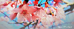 482. PAINTERLY 19: Sakura Pink Curtsies (Meili-PP Hua 2) Tags: spring blossoms petals blooms flowers buds pink crimson red sky mlpphflora photographypassionsxyz trees brances boughs sprigs macro macroflowers flowre blossom sakura pinksakura cherryblossoms cherryblossom