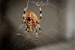 Spider (Plump Panda Photography) Tags: spider insect bug tamron90mmmacro macro canon6d 6d canon