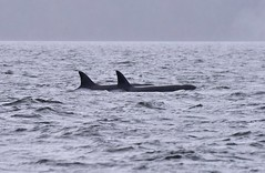 T18 and T19 (sjr627) Tags: transient killer whales orcas biggs t18s southern gulf islands