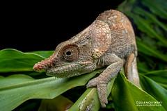 Short-horned chameleon (Calumma brevicorne) - DSC_3057 (nickybay) Tags: africa madagascar macro andasibe calumma brevicorne chameleon chamaeleonidae shorthorned laowa 15mm