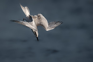 Forster's tern fish dive