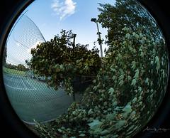 365-2018-264 - Tree meets tennis court (adriandwalmsley) Tags: mpf memorialplayingfield fallentree