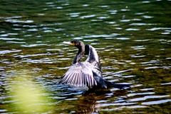 Cormorant (all'ombra dell'ultimo sole) (dagherrotipista) Tags: cormorant cormorano pescatore nature natura wildlife selvatici uccelli birds fishing nikond60 naturaleza
