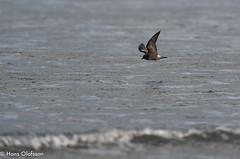 SA9_7927.jpg (Hans Olofsson) Tags: bird fågel halland klyckstjärtadstormsvala kustlabb mindrelira skummeslövsstrand sweden vatten water vågor