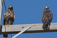 """Don't know what """"it"""" was I did, but they don't seem happy about """"it"""", so I'm sure I'll hear about """"it"""". (Parowan496) Tags: hawk pairofhawks canon eos 80d canoneos80d tamronsp150600mmf563divcusdg2 tamron sp 150600mm f563 di vc usd g2 wrong thelook"""