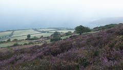 A Misty Heather Dawn (EmPhoto.) Tags: emmiejgee porlockcommon exmoor canoneos80d landscapepassion uk heather lonetree dawn mist misty nationalpark porlockbay canonf4l1635mm