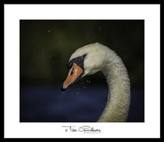 Smile (timgoodacre) Tags: swan swans nature bird birds birdportrait wildbird wildlife wildanimal wildfowl wild water waterbird waterfowl waterdrops ngc